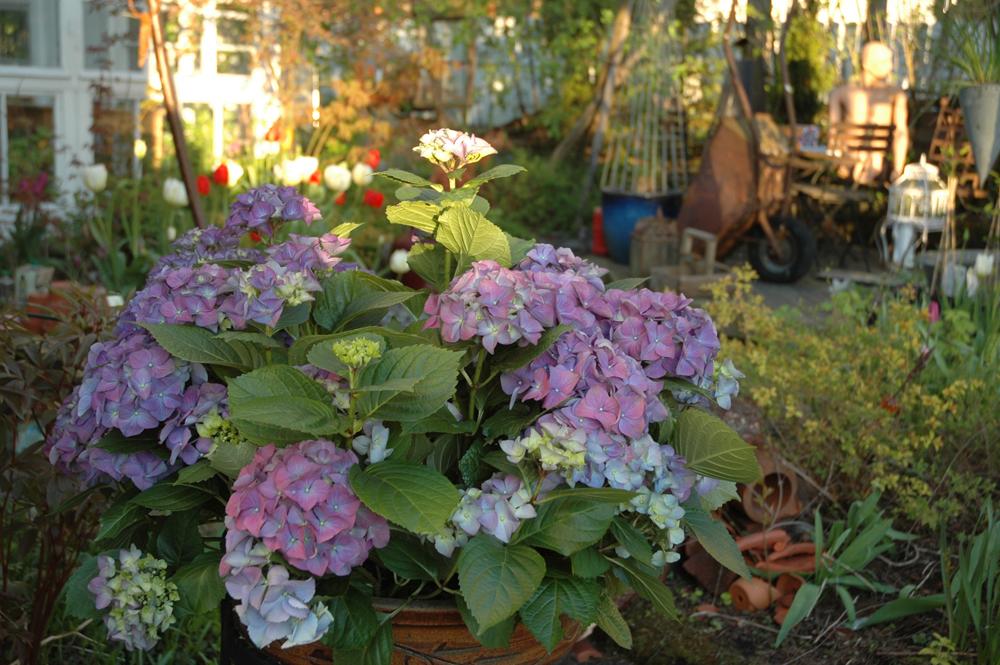 hortensia keväällä ilta auringossa
