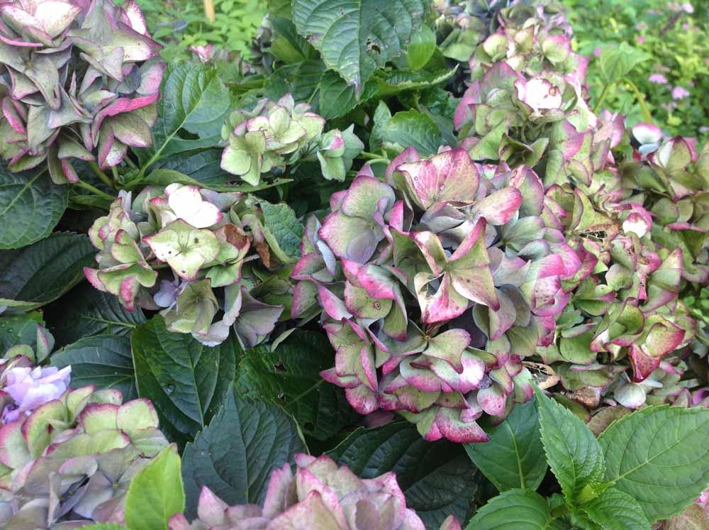 hortensia pihalla