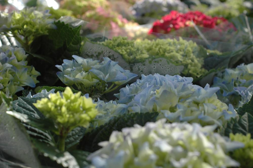 hortensian taimet
