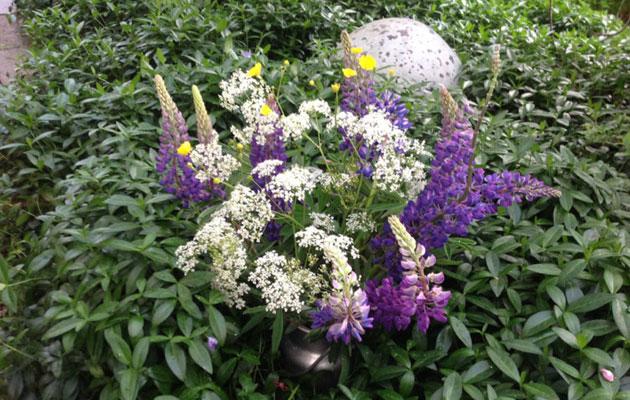 Lupiinit puutarhassa
