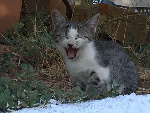 kreetalainen kissa