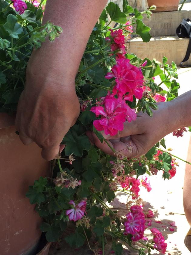 vanhat kukat pelargoneista