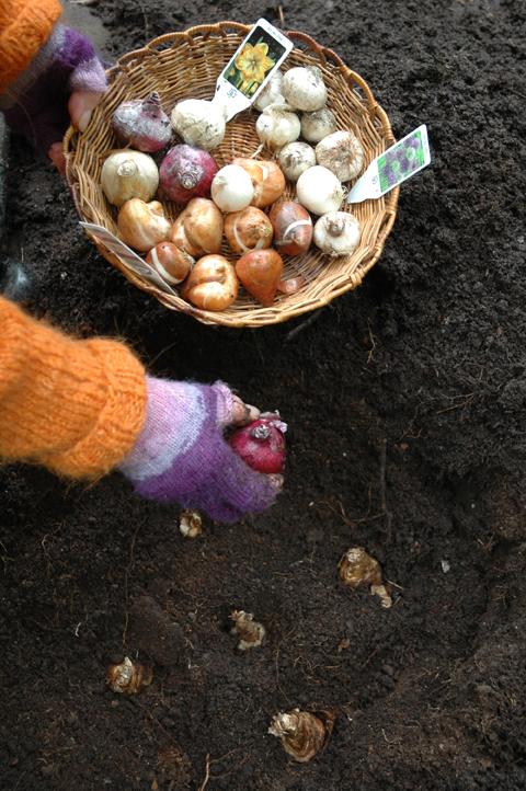 istuttaa kukkasipuleita
