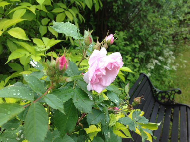 pensasruusu ja penkki