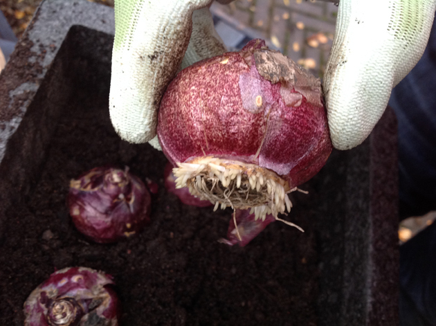 hyasintin sipulissa juuret