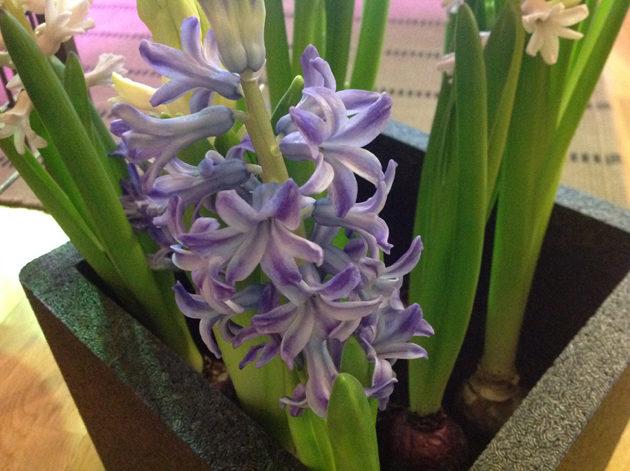 hyasintti-kukkii