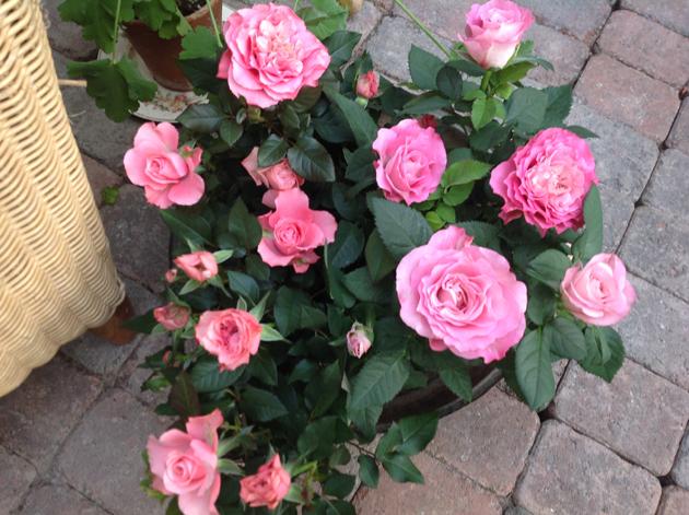 ruusu ruukussa