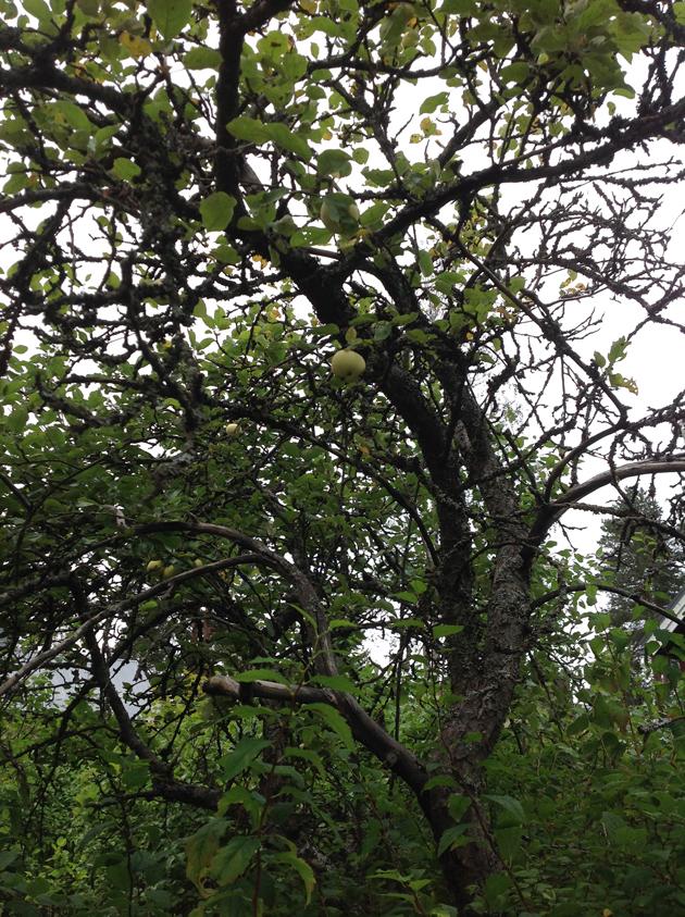 vanhoja omenapuita