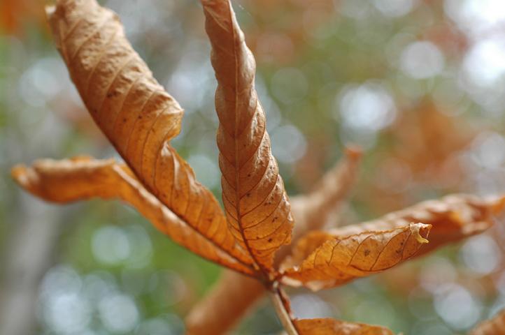 hevoskastanjan lehti syksyllä