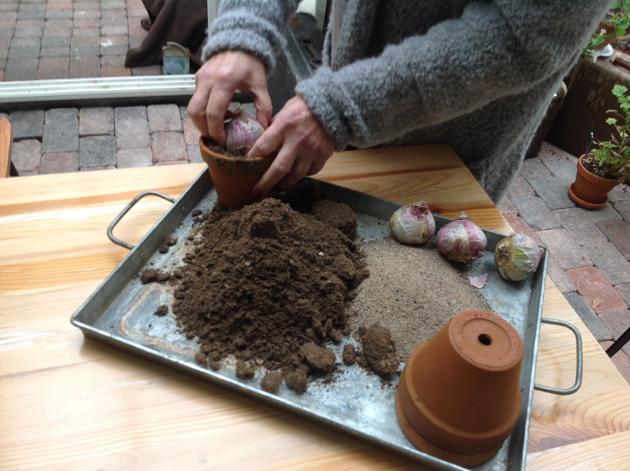 hyasinttien istutusta ruukkuihin
