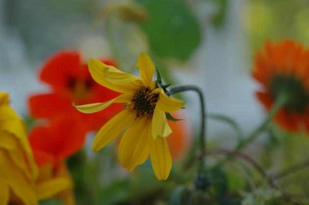 kasvimaan kukkia