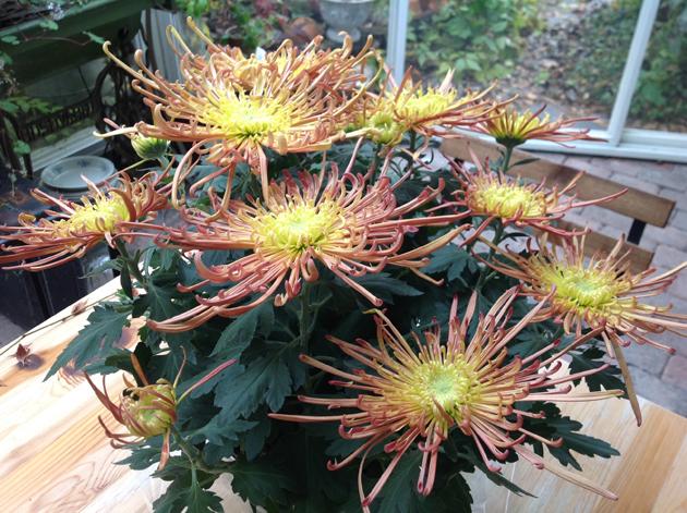 krysanteemi spider