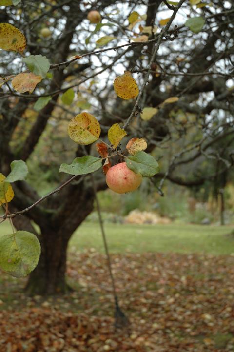 omenapuu ja syksy