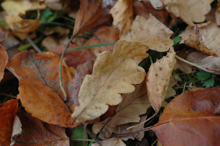 tammenlehtiä syksyllä