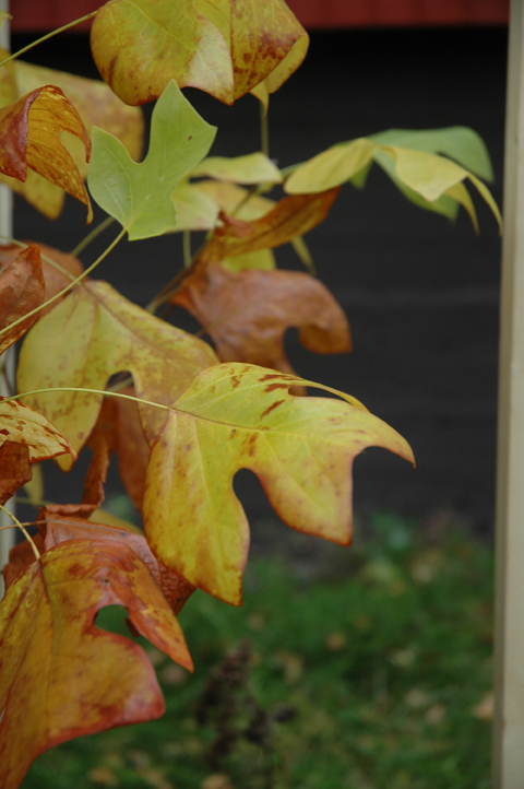 tulppaanipuussa ruska