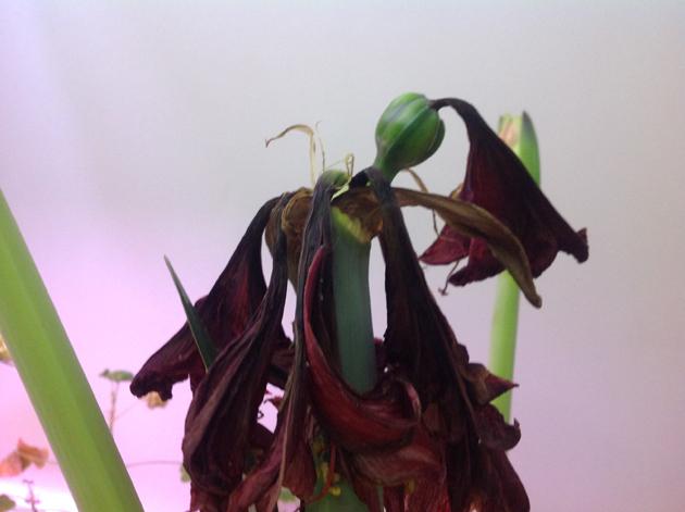 kukkinut-amaryllis