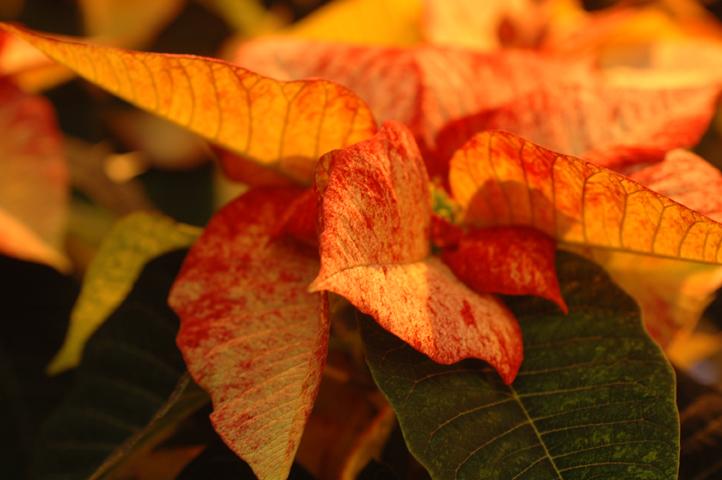 joulutahti-lohenpunainen