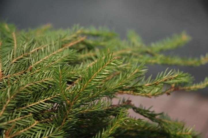 metsäkuusen oksia