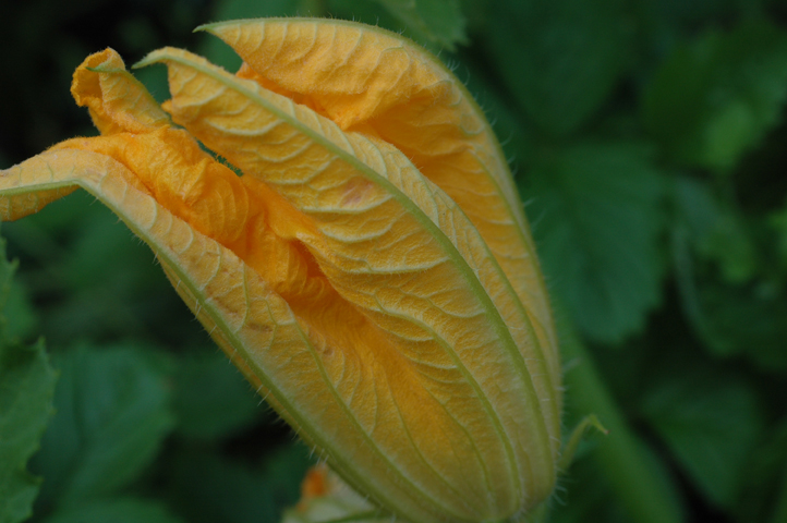 kurpitsan kukka