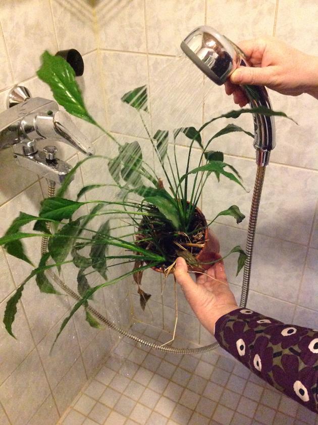 viherkasvi suihkuun