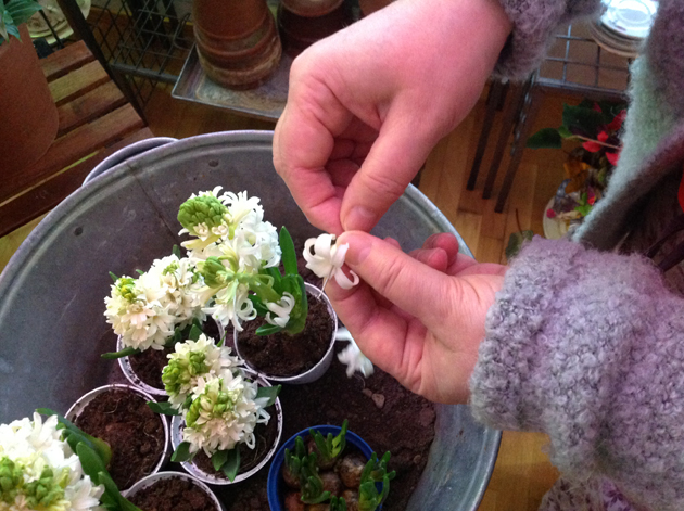 ommellaan hyasintin kukkia