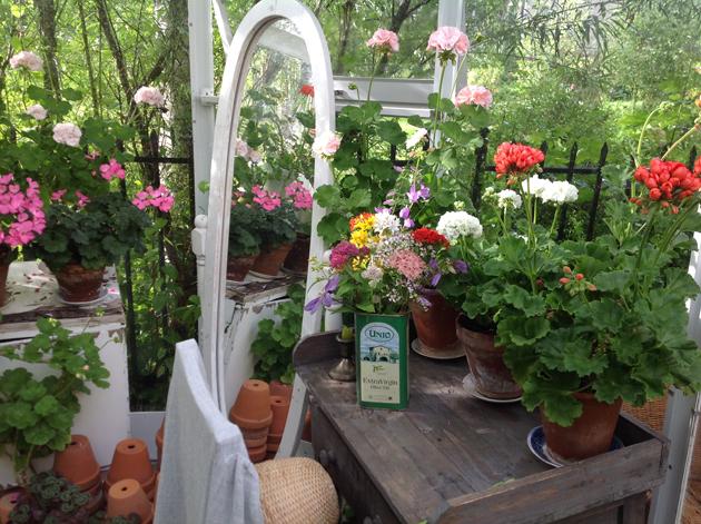 plargonit kukkivat kesällä