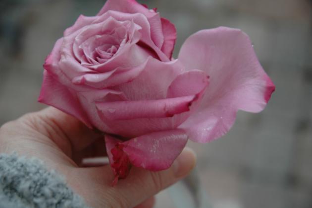 ruusu putkilossa