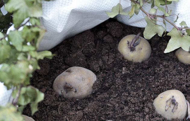 perunan kasvatus ämpärissä