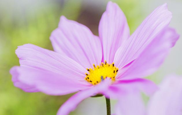 Violetti kukka
