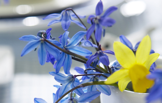 Narsissi sinisien kukkien loisteessa