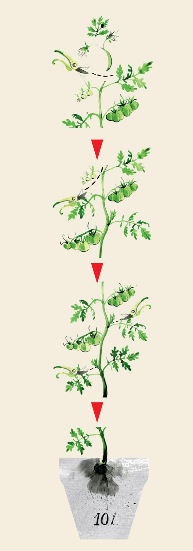 tomaatin varkaiden poistaminen