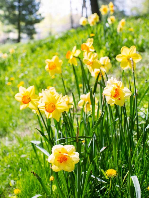 Narsisseja kukassa