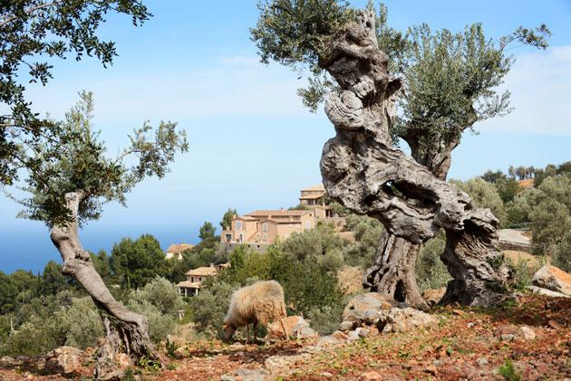 Oliivipuut