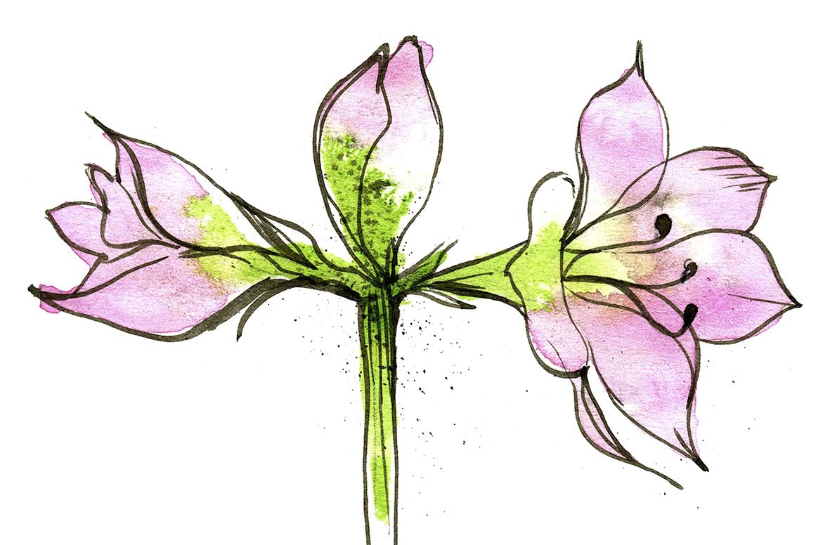 amarylliksen kasvatus sipulista