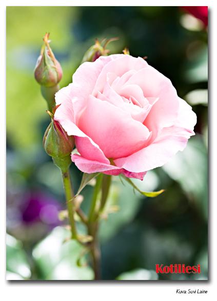 E-kortti vaaleanpunaisella ruusulla