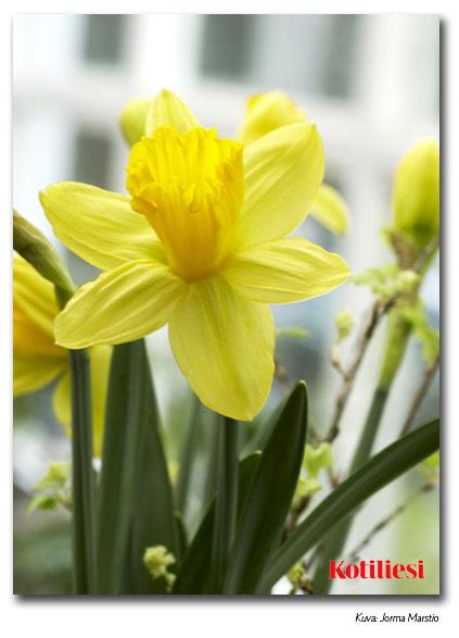 Lähetä narsissiaiheinen pääsiäistervehdys e-korttina!