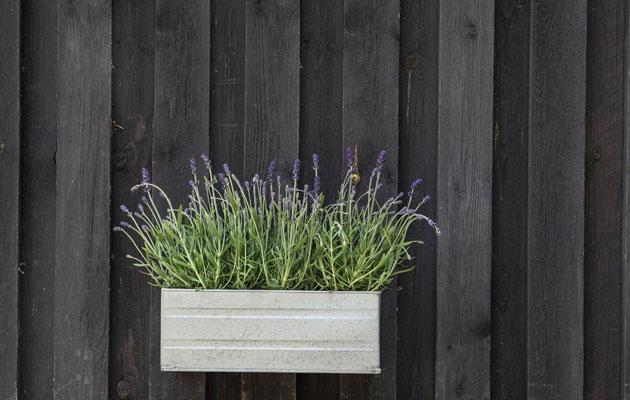 laventeli seinäruukussa