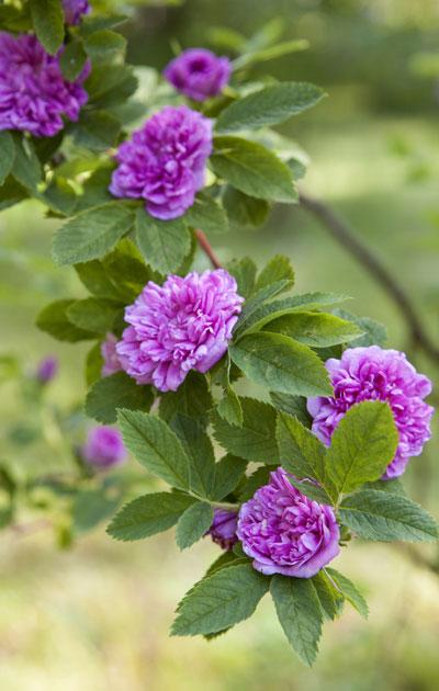 ruusuinen oksa pensaassa – äitinepäiväruno