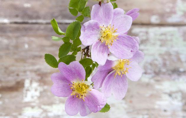 Kesäiset ruusut