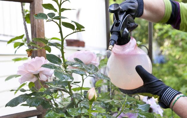 Ruusuja ruiskutelaan