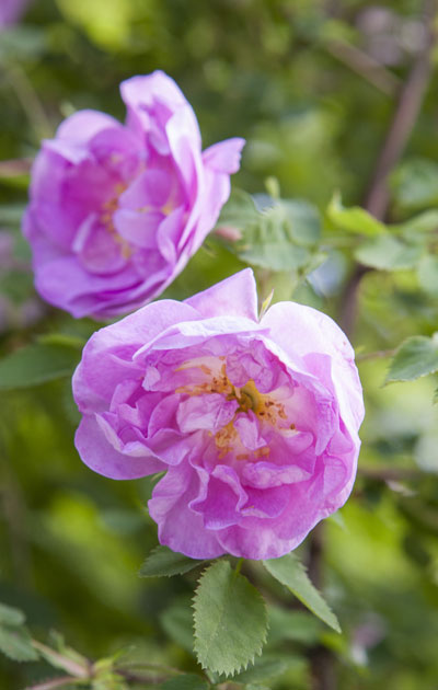 kesäiset ruusut – äitinepäiväruno