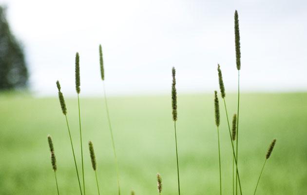 Heinät kukkii pellolla
