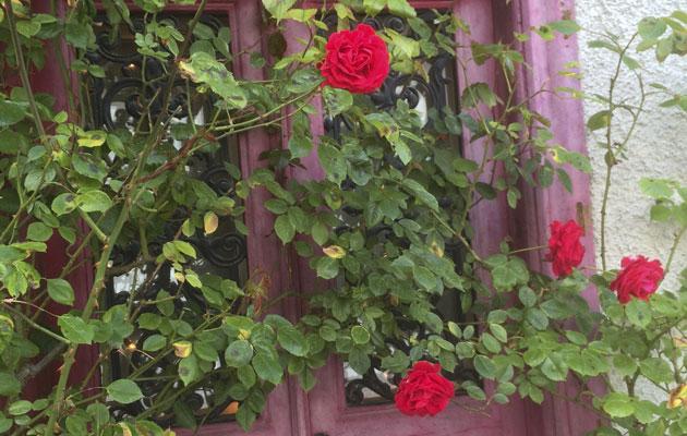 Ruusuja Visbyssä Gotlannissa