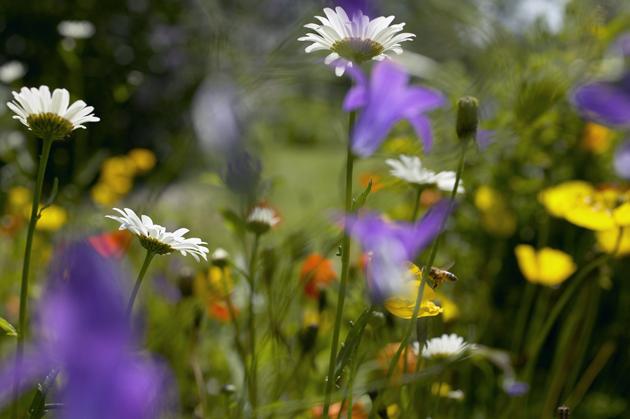 Päivänkakkaroita ja muita kukkia