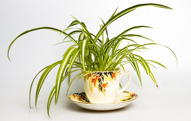 Ilmaa puhdistavat kasvit: kirjorönsylilja