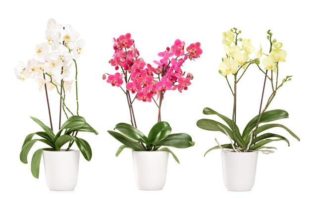 Ilmaa puhdistavat kasvit: orkidea
