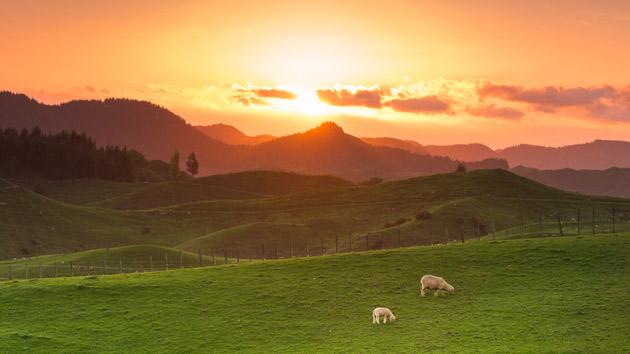 Uusi-Seelanti on maailman johtava lammasmaa