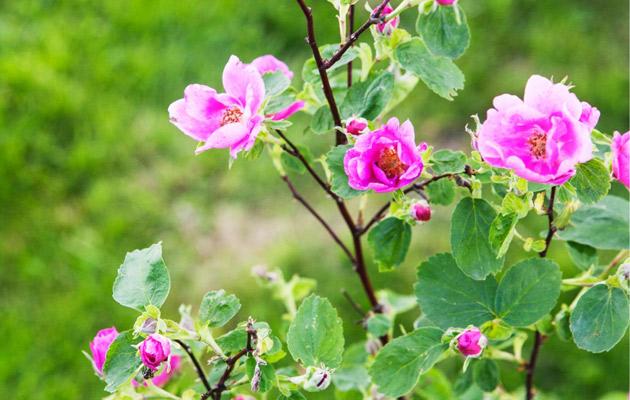 Ruusulajikkeiden kirjo on värikäs