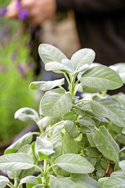 minttu, Adrian Evans, luonnonmukainen viljely, puutarha, puutarhuri, kotiliesi