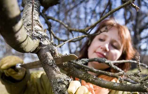 Älä leikkaa puita ja pensaita väärin – puutarhuri paljastaa pahimmat virheet
